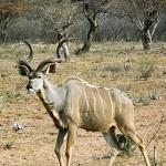 Large Kudu Bull