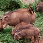 Warthog hunts
