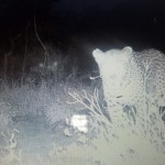 Leopard on trails camera